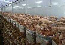 Московская область — российский лидер по промышленному производству грибов