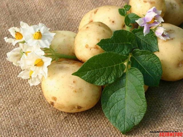 Новые сорта российского безвирусного картофеля разрабатывают селекционеры УрГАУ