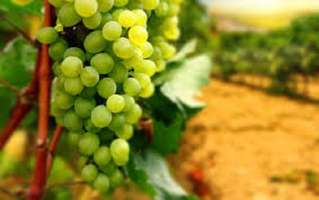 Новые сорта винограда внесли в Единый реестр селекционных достижений РФ