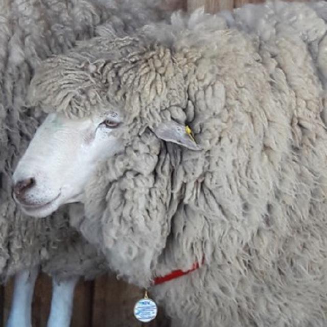 Российская выставка племенных овец и коз — важное событие для животноводов