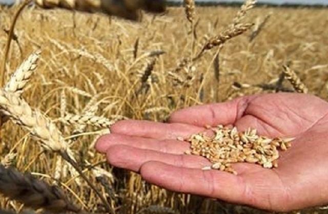 Ростовская область делает ставку на повышение доходности гектара и качество пшеницы