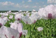 В России планируется отменить запрет на промышленное выращивание опиумного мака.