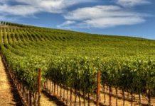 В Краснодарском крае расширяют площадь виноградников и заменяют импортные саженцы отечественными
