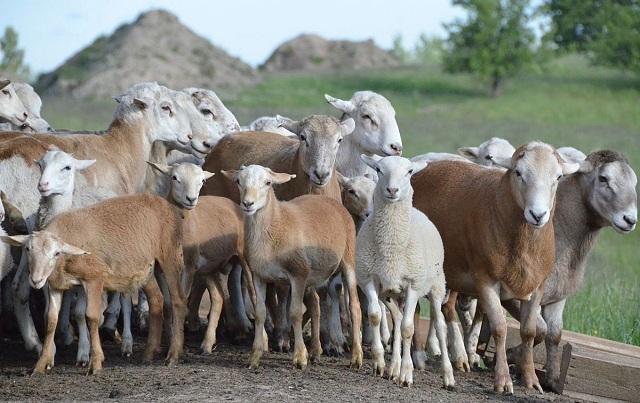 Катумская порода овец снова удостоилась похвалы