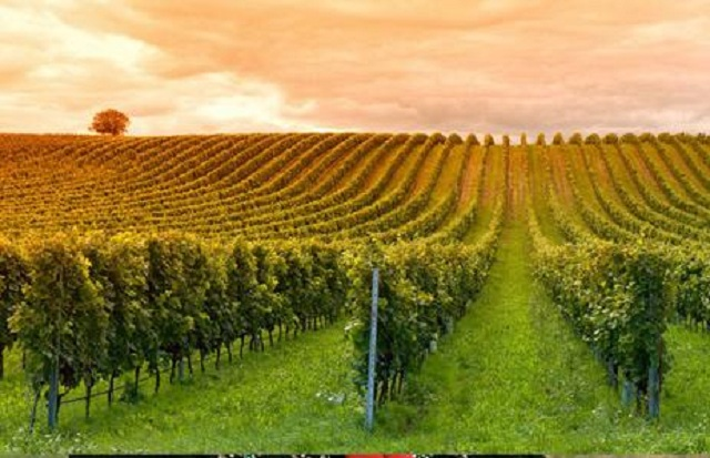 Крым планирует утроить площади под виноградники