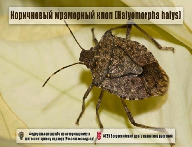 Минсельхоз РФ продолжает контролировать ситуацию с коричнево-мраморным клопом в Абхазии