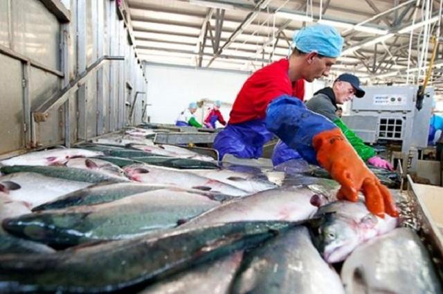 На острове Шикотан в 2018 году будет больше на 2 крупных рыбоперерабатывающих завода