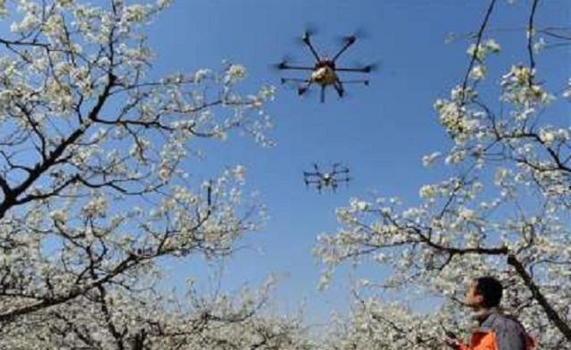 В Китае впервые цветущие груши опылили с помощью дронов
