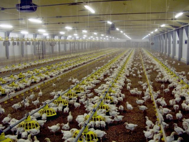 В Крыму инвесторы вложат более 12 миллиардов рублей в птицеводство