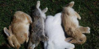 Геморрагическая болезнь кроликов: описание, вакцинация, меры предосторожности