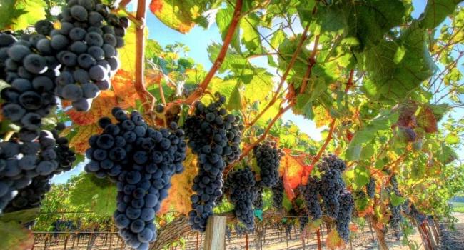 Крымские виноделы увеличивают площади виноградников