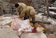 На Украине снижается численность коров. Виноваты европейские стандарты