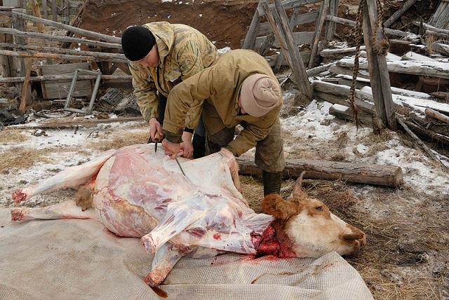 На Украине снижается численность коров. Виноваты европейские стандарты?