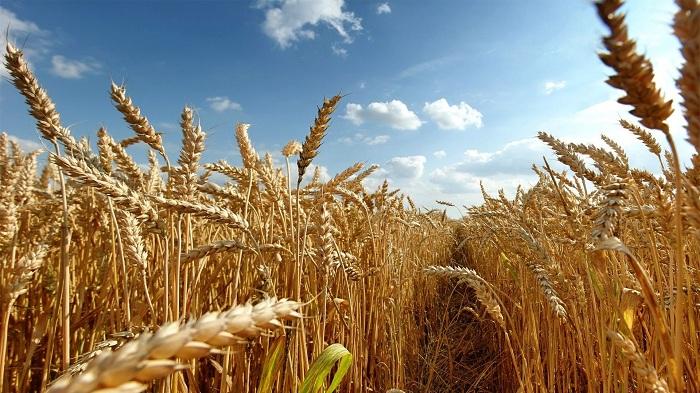 На рынке зерна очередная неопределенность