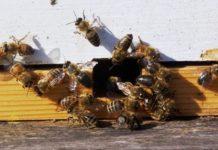 Пчелиный подмор: польза, сбор, применение