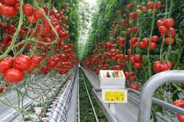 Производство тепличных овощных культур в России идет по нарастающей