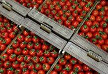 Турецкие помидоры карантинные вредители прилагаются