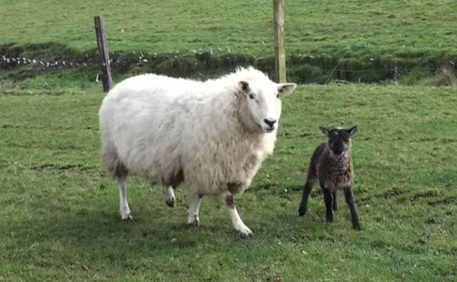 В Ставрополье субсидии на поддержку племенного овцеводства выросли в 4,5 раза