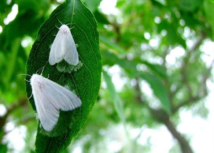 Американская бабочка-вредитель деревьев