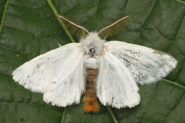 Бабочка-вредитель растений златогузка