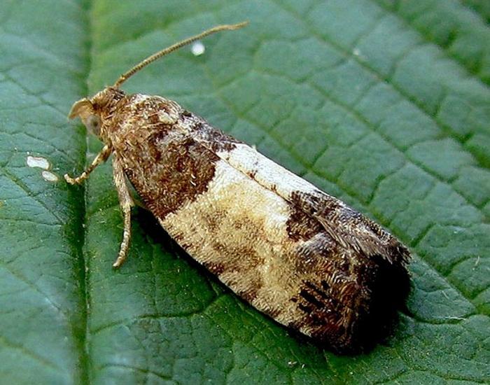 Бабочка-вредитель вертунья листовая