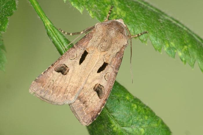 Бабочка-вредитель восклицательная совка и борьба с ней