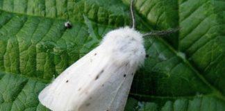 Бабочки-вредители растений