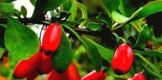 Барбарис - описание уход выращивание использование