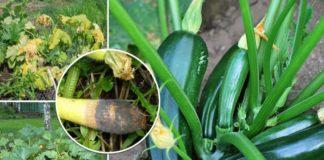 Болезни и вредители кабачков