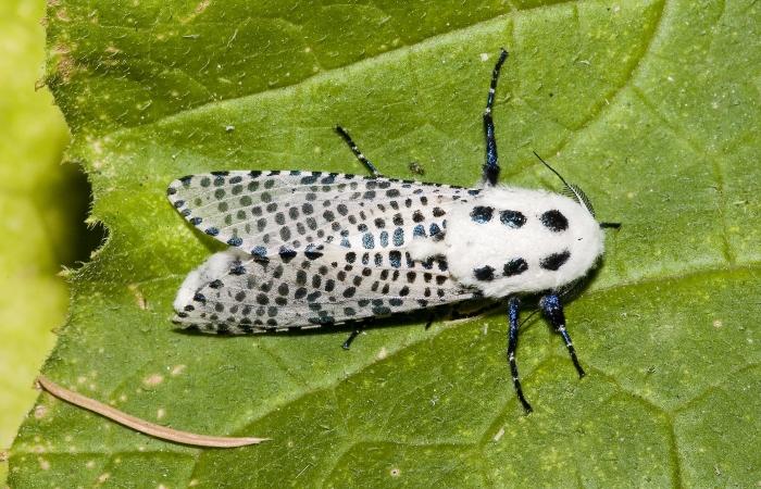 Древесница въедливая и борьба с бабочкой-вредителем
