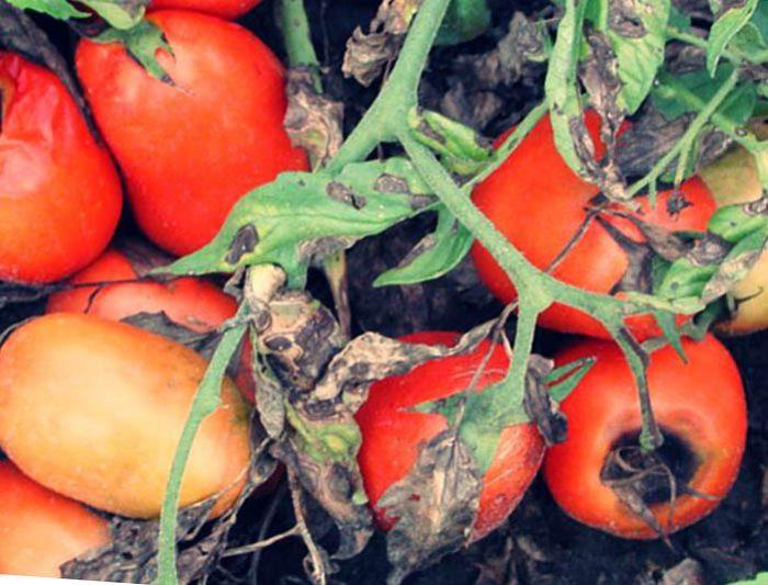 Гниение плодов томатов помидоров