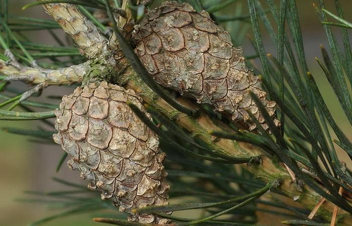 Хвойное растение сосна