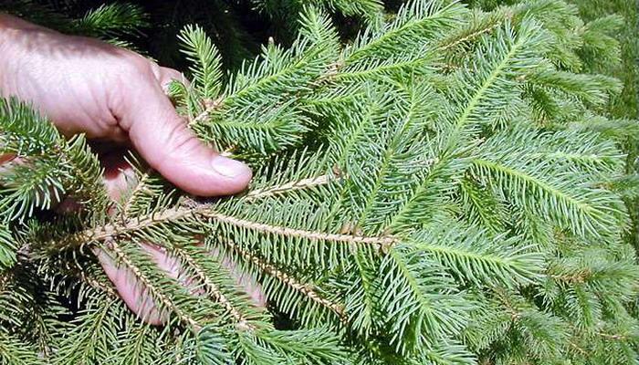Канадская ель: посадка и уход