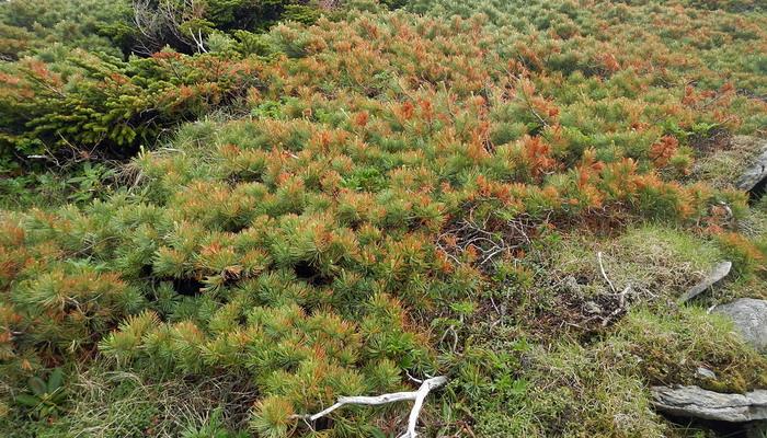 Как видно на фото, побеги кедрового стланика имеют зеленый окрас и густое рыжеватое опушение