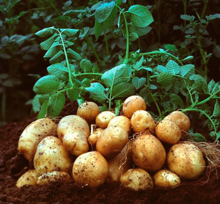 Особенности картофеля