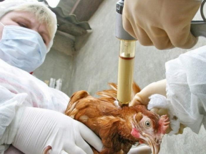 Куриные болезни и методы их лечения и профилактики