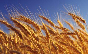 Липецкие аграрии и селекционеры вывели новый сорт пшеницы