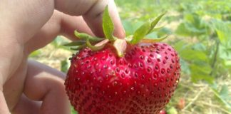 Лучшие крупноплодные сорта клубники