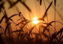 Минсельхоз сохранил прогноз поурожаю зерна науровне 100млнтонн загод