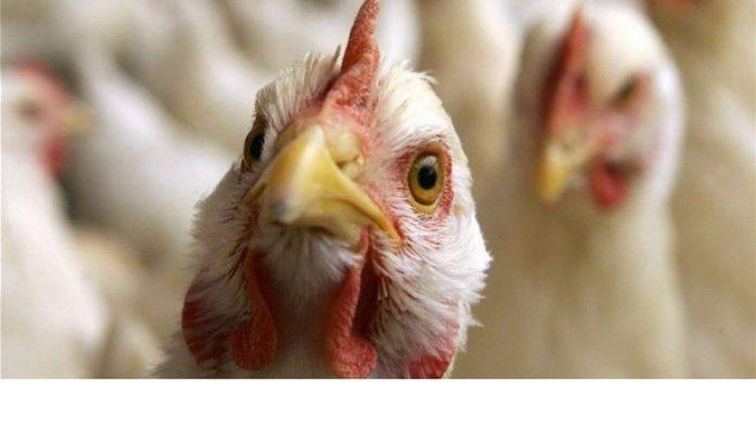 На птицефабрике группы «Черкизово» обнаружили птичий грипп