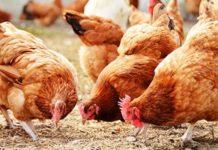 Тенденции в мировой птицеводческой отрасли