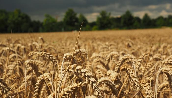 Омская область планирует собрать не менее 3 млн тонн зерна, несмотря на холодную весну