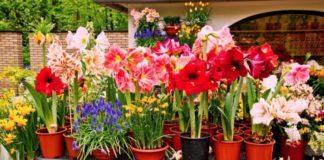 Особенности выбора луковичных цветов