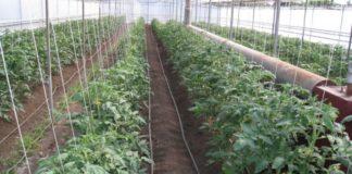 Пересадка рассады томатов в теплицу