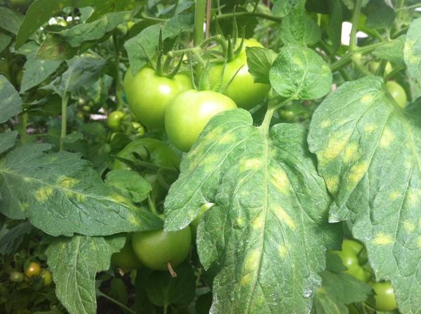 Пятна на листве томатов