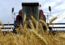 Пшеница дешевеет
