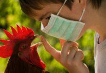 Птичий или куриный грипп