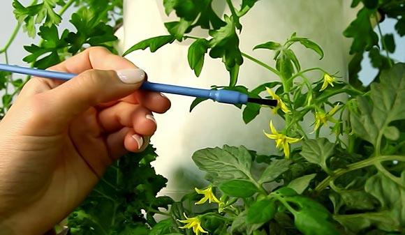 Самоопыляемые сорта помидоров для теплиц
