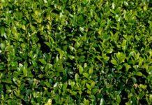 Самшит вечнозеленый (Buxus sempervirens)