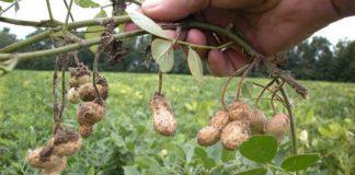 Сбор и условия хранения арахиса